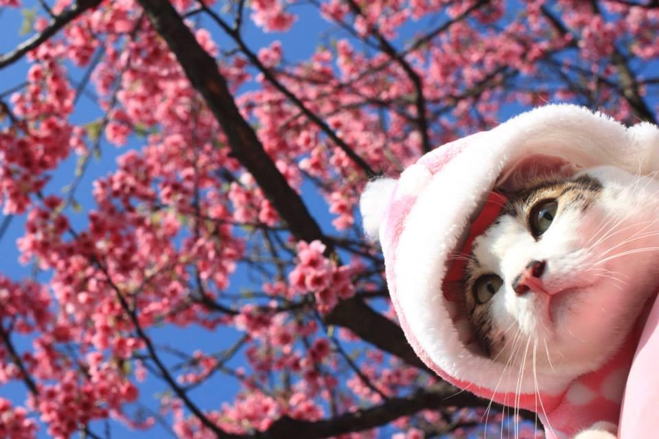 平菁街櫻花 陽明山櫻花  2014陽明山一日遊  阿貴看櫻花